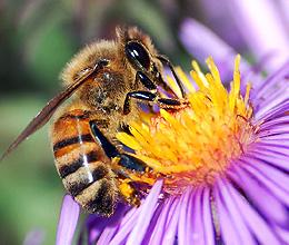 close up photo of Honey Bee on purple flower