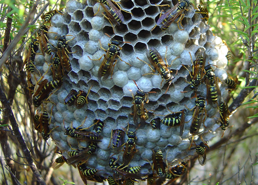 Wasp, Yellowjackets and Hornet Removal