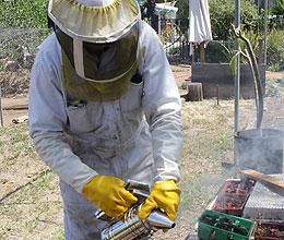 Smoking Bee in a Beekeepers backyard