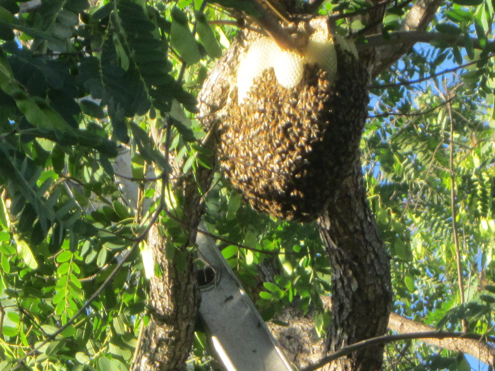 Will bees in trees go away on their own? | Bee Best Bee Removal