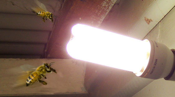 Are Bees attracted to light? | Bee Best Bee Removal