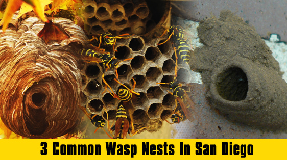 3 Common Wasp Nests In San Diego