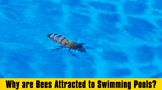 Why bees are attracted to swimming pools bee best bee removal How to make swimming pool water drinkable