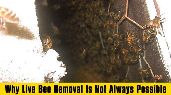 why-live-bee-removal-is-not-always-possible